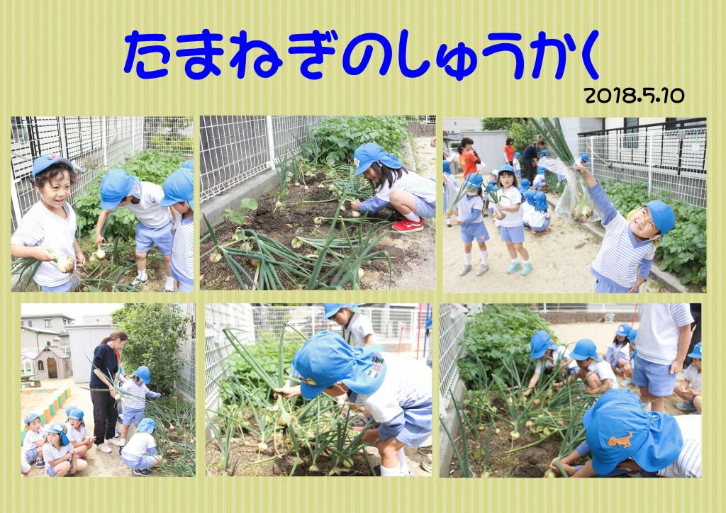 玉ねぎの収穫 とれぞあ子ども園